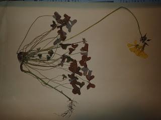てっちゃんの自然観察記: オオキバナカタバミの押し葉標本に生じた鱗茎