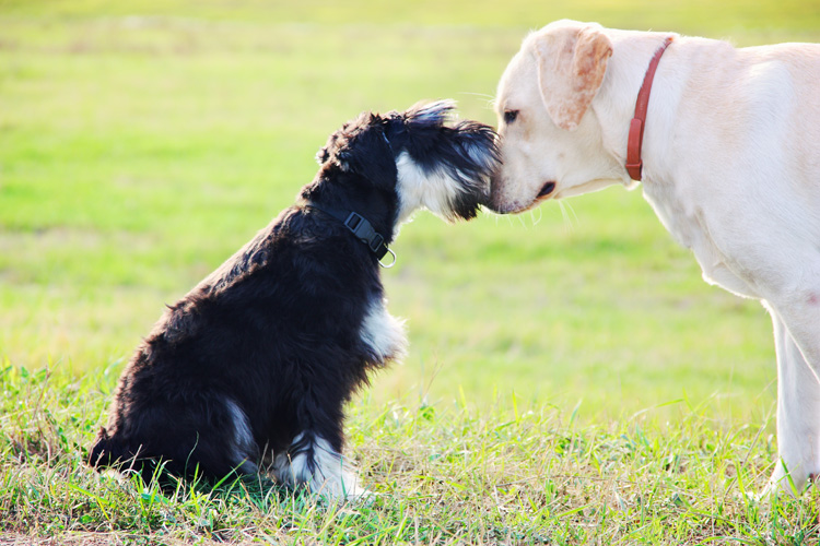A miniature schnauzer is nose-to-nose with a golden labrador
