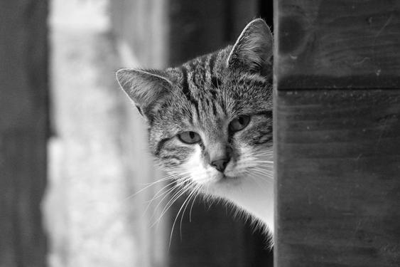 kissan kulttuurillinen asema: skandinavia