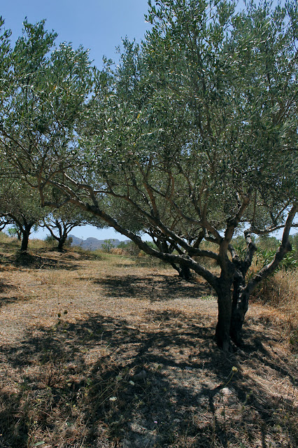 oliwa z krety