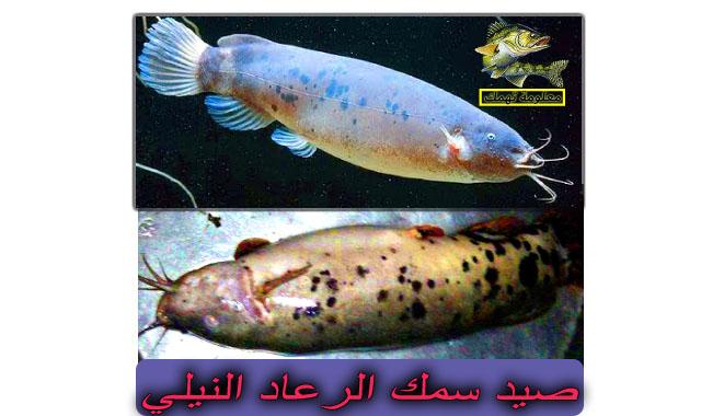 طريقة صيد سمكة الرعاش | سمك الرعاد النيلي