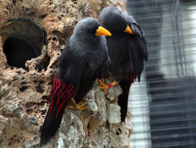 Burung Rio-Rio Jantan dan Betina Harga Jalak Rio-Rio Terbaru