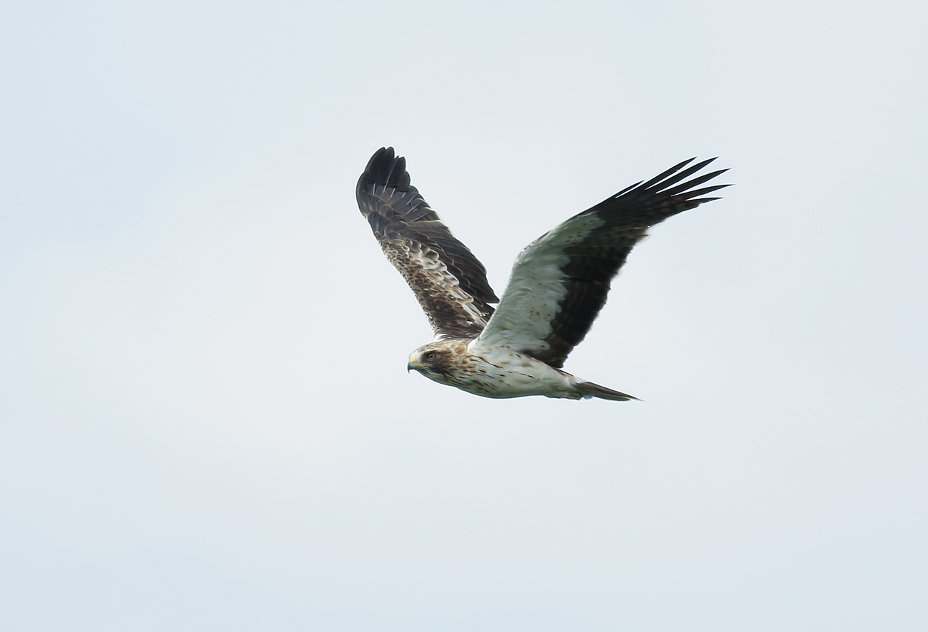 wrights wanderings booted eagle