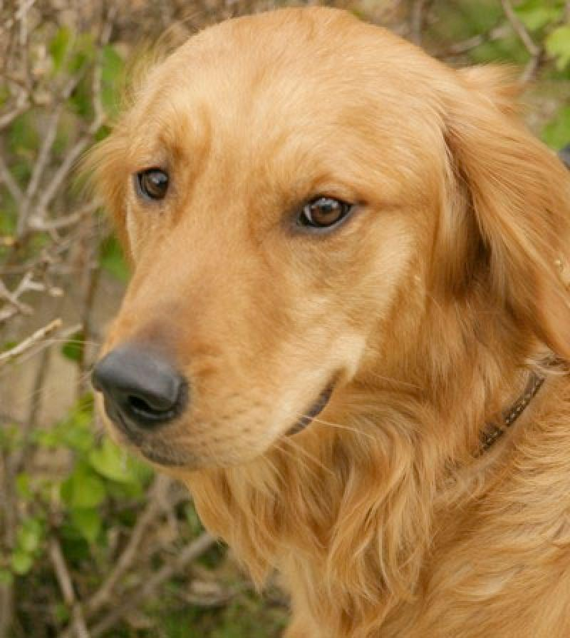 Golden Retriever dogs and puppies: Golden Retriever pictures