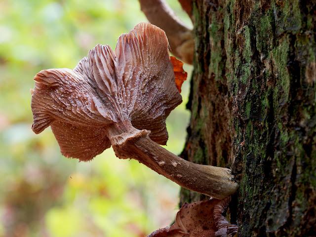Der Pilzschirm ist bereits von Schimmelpilzen befallen. Pilz frisst Pilz!