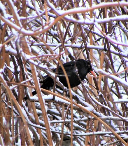 mierla printre crengi, iarna