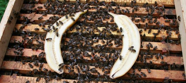 Βουίζει η Ευρώπη: Μπανάνα και τα μελίσσια θεραπεύονται από την ασκοσφαίρωση...Θυμάστε με πόση λύσσα πολεμήθηκε ο Melissocosmos όταν το φώναζε;