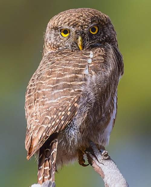 Birds of India - Photo of Asian barred owlet - Glaucidium cuculoides