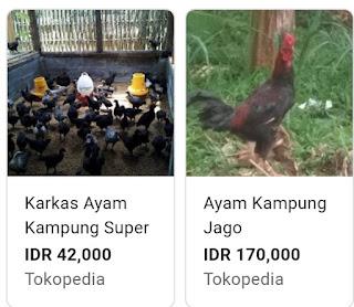 Cara Mudah Berternak Ayam Kampung serta peluang usaha ayam Kampung