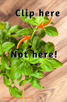 Basil plant with arrows to show how to prune it