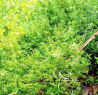 मक्का के खेत में लहलहा रही थी गांजा की खेती
