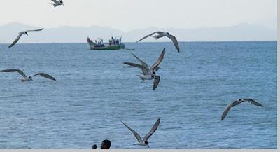 Burung camar habitat pesisir pantai - berbagaireviews.com