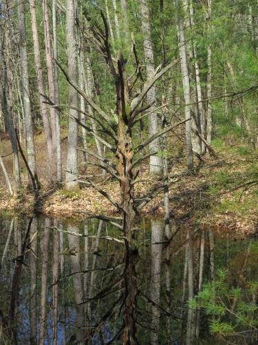 dead tree reflected in water