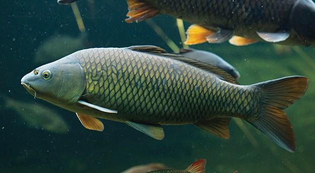 Ikan Mas Taiwan