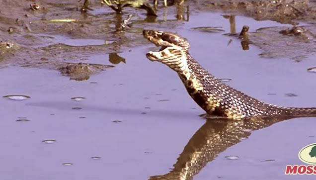 Probably the Largest Cottonmouth Snake ever captured on video