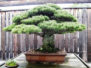 Japanese White Pine That Survived Hiroshima