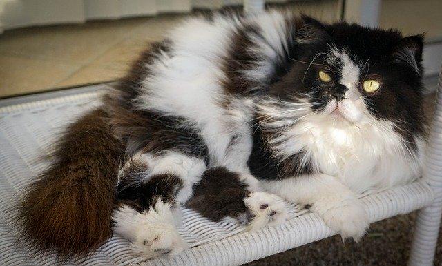 Perbedaan Kucing Siam dan Kucing Himalaya