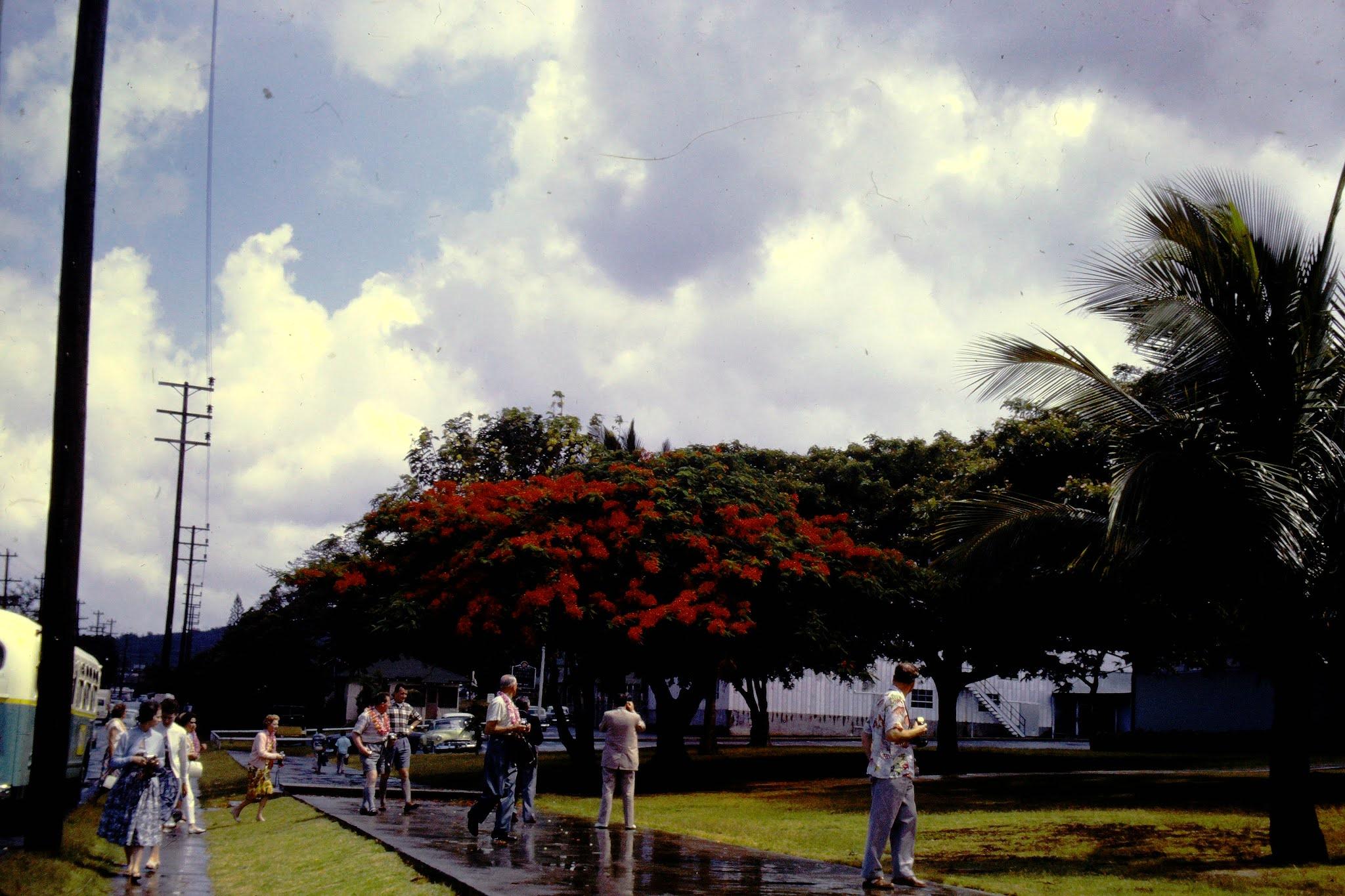 Red Shower Tree - 1961