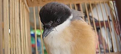 Tips Memilih Burung Cendet Terbaik Untuk Lomba Tips Memilih Burung Cendet Terbaik Untuk Lomba