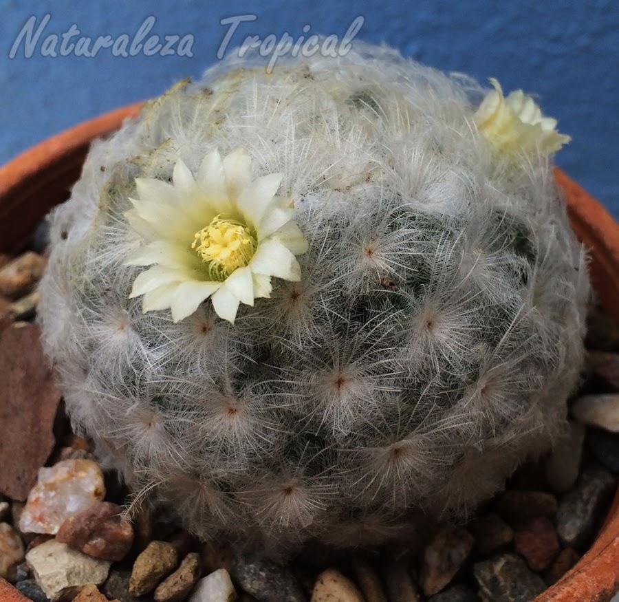 Vista del Cactus Bola de Nieve en floración, Mammillaria plumosa