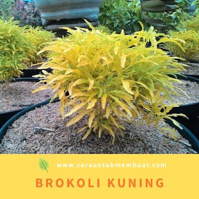 Brokoli Kuning