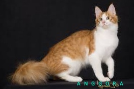 Jual Kucing Anggora Bandung