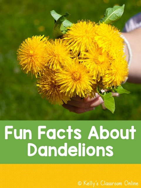 Five fun facts about dandelions. Where do dandelions come from? Are dandelions edible? What animals eat dandelions? Do bees like dandelions? And more!