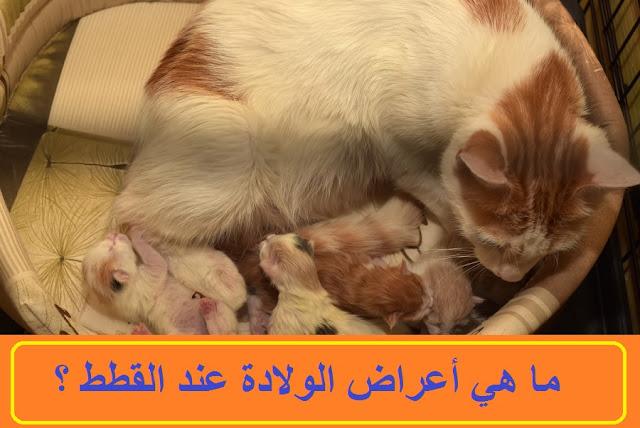 """""""اعراض الحمل عند القطط بالاسبوع الاول"""" """"أعراض الحمل عند القطط بالاسبوع الأول"""" """"اعراض الحمل عند القطط في الاسبوع الاول"""" """"اعراض حمل القطط في الاسبوع الاول"""" """"علامات حمل القطط بالاسبوع الاول"""" """"علامات الحمل عند القطط بالاسبوع"""" """"اعراض حمل القطط في الأسبوع الأول"""" """"علامات حمل القطط في الاسبوع الاول"""" """"اعراض الحمل عند القطط"""" """"علامات الحمل عند الكلاب في الأسبوع الأول"""""""