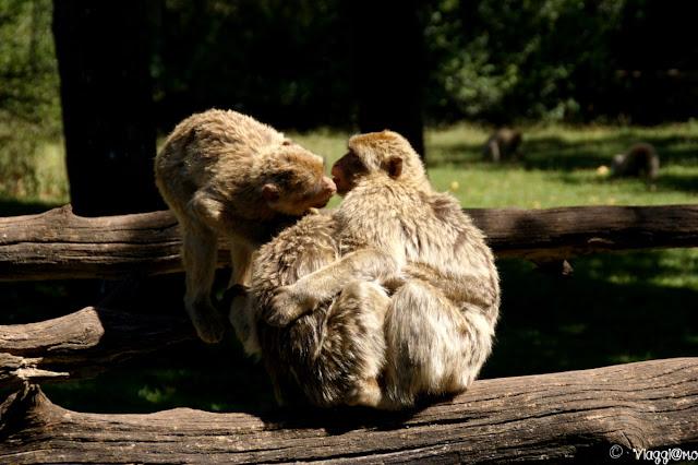 Una famiglia di macachi di Barbarie alla Foret des Singes di Rocamadour