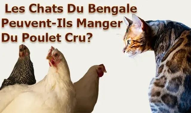 Les Chats Du bengal Peuvent-Ils Manger Du Poulet Cru?