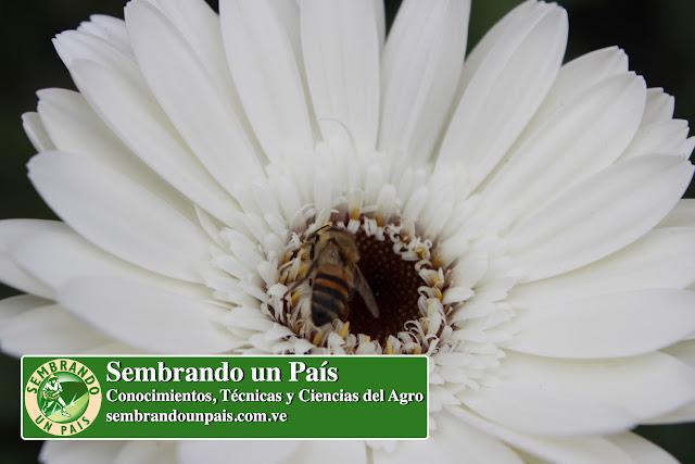 Abeja Polinizando Flor de Gerbera