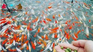 Budidaya Ikan Koi di Rumah