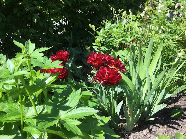 Tulipaner som ser ut som roser - her sammen med andre stauder som kommer og går gjennom sesongen