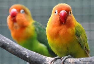 lovebird lesu, lovebird lemas