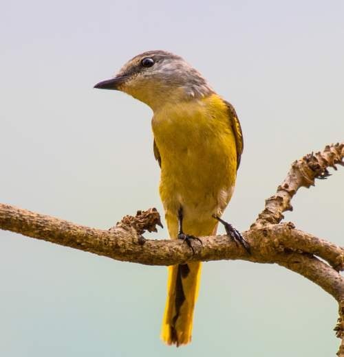 Indian birds - Image of Rosy minivet - Pericrocotus roseus