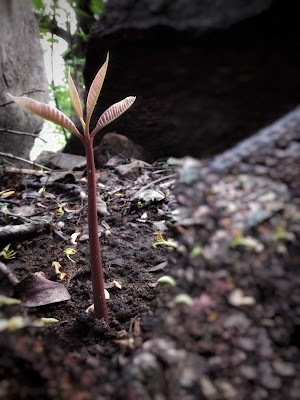 Mango tree sprout