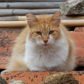 Chat domestique - Felis silvestris catus
