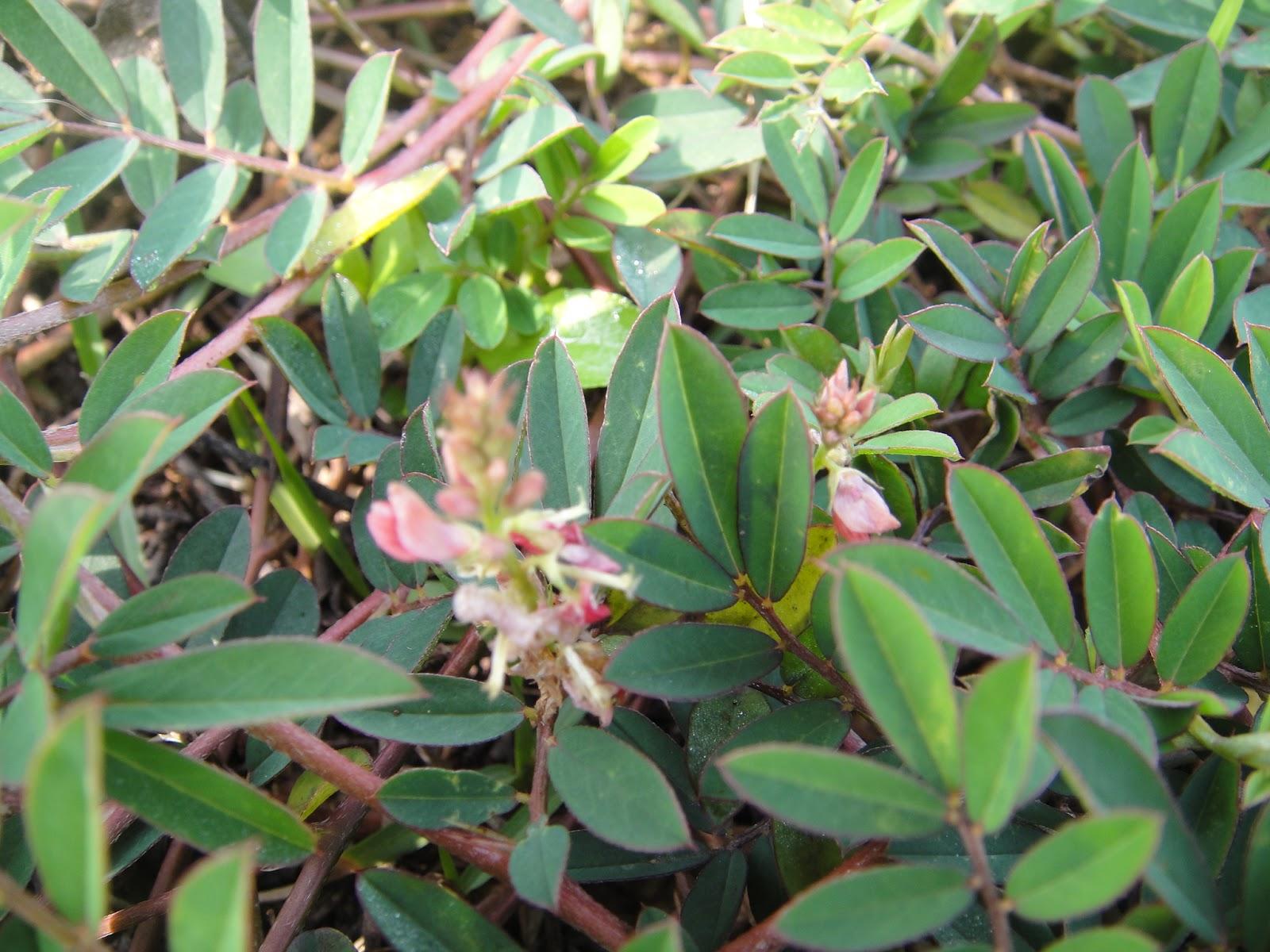 DWAN雲之端: 穗花木藍--一串長長的橘紅色花序的穗花木藍是臺灣的原生地被植物;開闊的荒地或草地多陽光的 ...