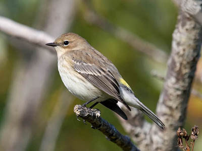 Photo of Yellow-rumped Warbler in tree