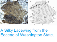 http://sciencythoughts.blogspot.co.uk/2014/07/a-silky-lacewing-from-eocene-of.html