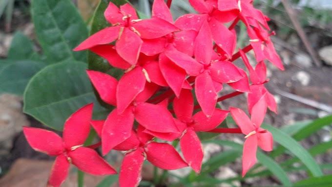 Bunga Merah Di Antara Kerikil Bebatuan