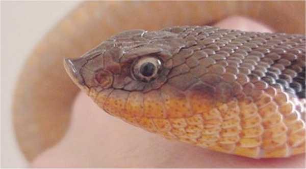 Largest Blue Indigo Snake