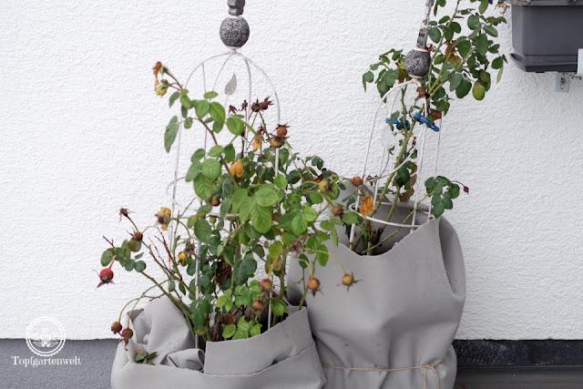 Wie oft muss man Topfpflanzen im Winter gießen? - Gartenblog Topfgartenwelt
