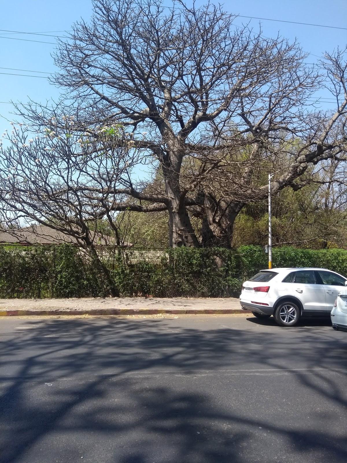 Trees, Adansonia, Pune