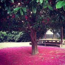 Pé de jambo. amarelo, vermelho, rosa, branco. tapete de flores