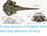 https://sciencythoughts.blogspot.com/2014/10/a-new-species-of-dolphin-from-early.html