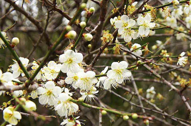 white flowers, tree branches, blossoms and buds