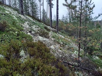 Yksi harjulajeista on sianpouolukka, jota löytyy myös Keski-Suomesta.