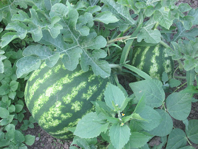 These Watermelons are looking good!