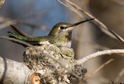 Photo of female Anna's Hummingbird on a nest